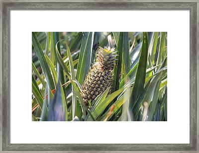 pineapple plantation in Kerala - India Framed Print by Joana Kruse