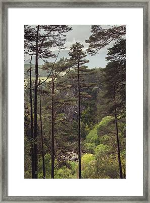 Pines In Foyers Framed Print