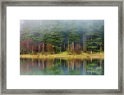 Pines In The Mist Framed Print