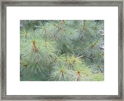 Pines Framed Print by Rhonda Barrett