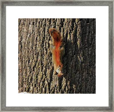 Piney Squirrel Framed Print by David Arment