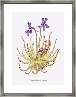 Pinguicula Gypsicola Framed Print by Scott Bennett
