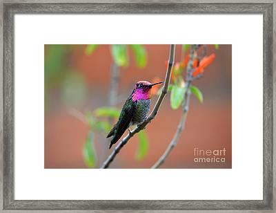 Pink And Gold Anna's Hummingbird Framed Print