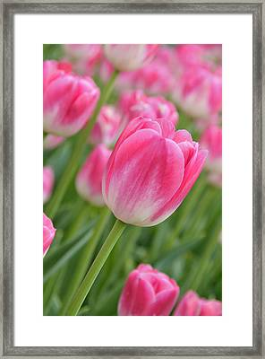 Pink And Green Framed Print by Lyle  Huisken