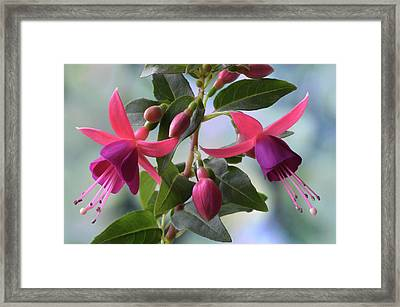 Framed Print featuring the photograph Pink And Purple Fuchsia by Terence Davis
