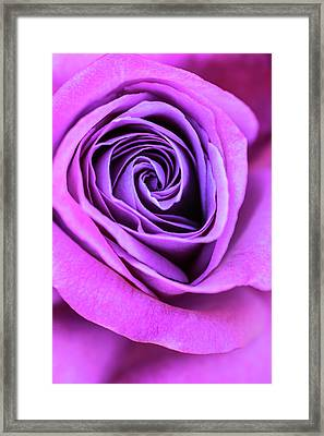 Pink And Purple Rose Spiral Framed Print
