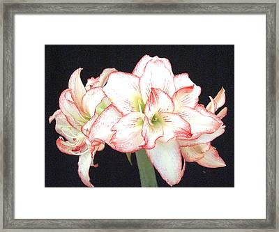 Pink And White Amaryllis Group Framed Print by Frederic Kohli