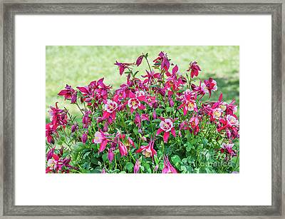 Framed Print featuring the photograph Pink And White Columbine by Sue Smith