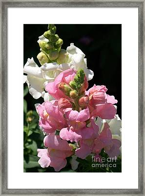 Framed Print featuring the photograph Sweet Peas by Eunice Miller