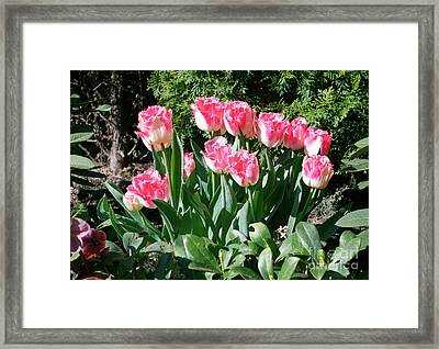 Pink And White Fringed Tulips Framed Print by Louise Heusinkveld