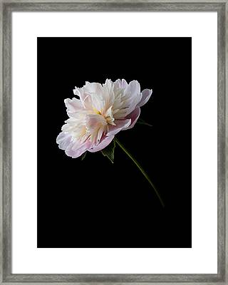 Pink And White Peony Framed Print