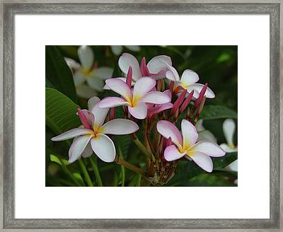 Framed Print featuring the photograph Pink And White Plumeria by Pamela Walton
