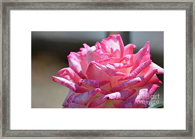 Pink And White Ruffle Rose  Framed Print by Ruth Housley