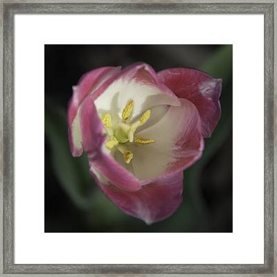Pink And White Tulip Center Squared 2 Framed Print