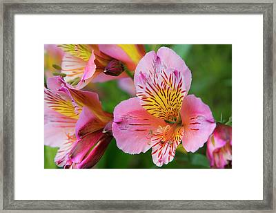 Pink And Yellow Flora Framed Print