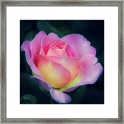 Framed Print featuring the photograph Pink And Yellow Single Rose by Julie Palencia