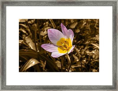 Pink And Yellow Tulip On Sepia Background Framed Print