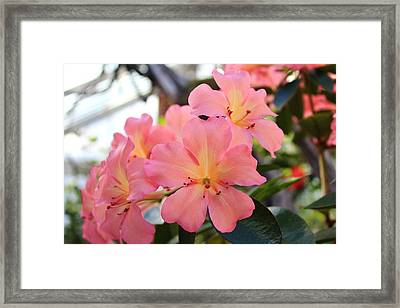 Pink And Yellow Vireya Framed Print