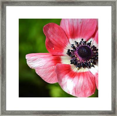 Pink Anemone Flower Framed Print by P S