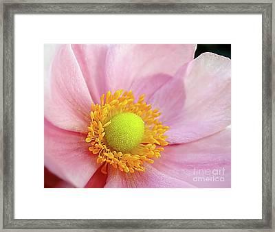 Pink Anemone Framed Print by Kaye Menner