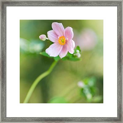 Pink Anemone Squared Framed Print by Rebecca Cozart