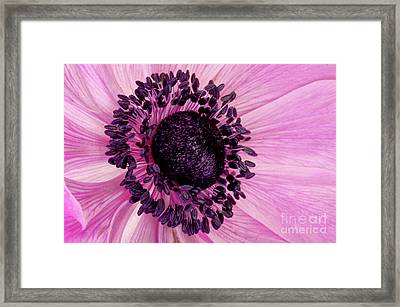 Pink Anemone Visit Www.angeliniphoto.com For More Framed Print by Mary Angelini