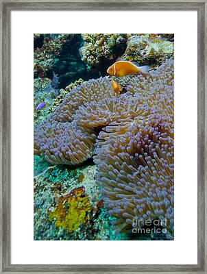 Pink Anemonefish Guard Their Anemone Framed Print