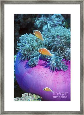 Pink Anemonefish Protect Their Purple Framed Print