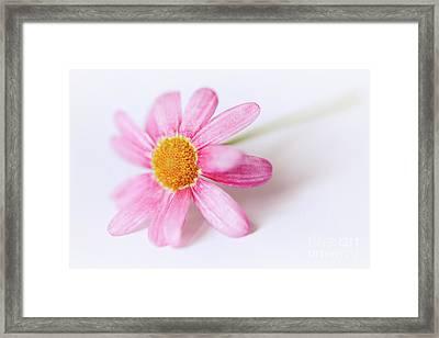 Pink Aster Flower II Framed Print by Nick Biemans