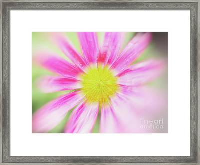 Pink Aster Flower With Raindrops Abstract Framed Print by Nick Biemans