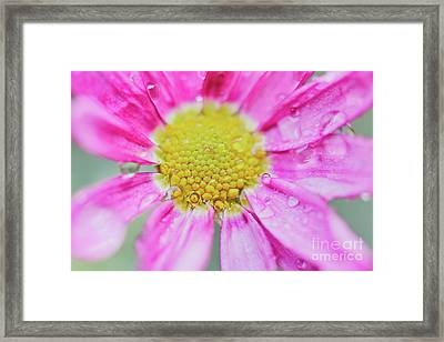 Pink Aster Flower With Raindrops Framed Print by Nick Biemans