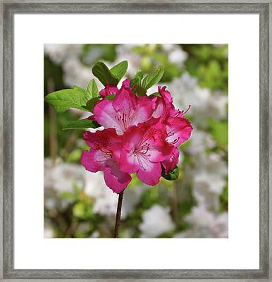 Framed Print featuring the photograph Pink Azalea by Sandy Keeton