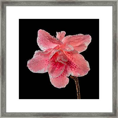 Pink Azalia Drops 2 Framed Print by Mary Jo Allen