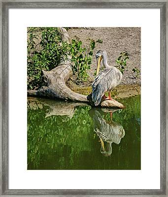 Pink-backed Pelican - Reflection Framed Print by Nikolyn McDonald