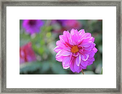 Pink Beauty Framed Print by Becky Lodes