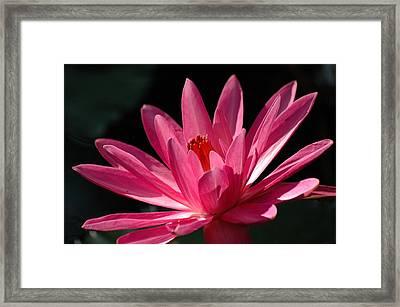 Pink Beauty Framed Print by Carolyn Marshall