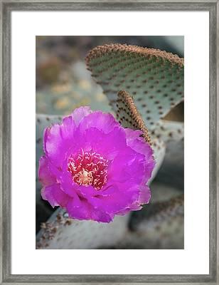 Framed Print featuring the photograph Pink Beavertail Cactus  by Saija Lehtonen