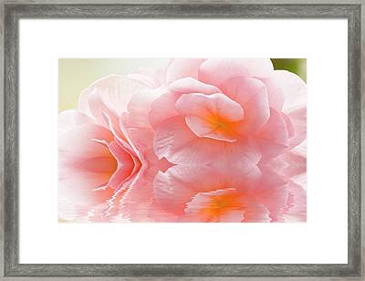Pink Begonia Reflection 1 Macro Framed Print