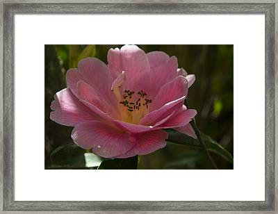 Pink Bloom Framed Print by Frank Wilson