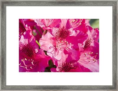 Pink Blooms Framed Print by Steve Kenney