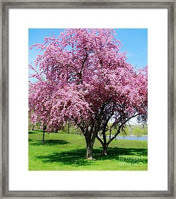 Pink Blossom Tree Framed Print by Marsha Heiken