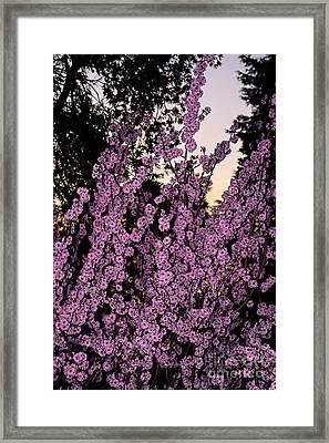 Pink Blossoms At Sunset By Kaye Menner Framed Print