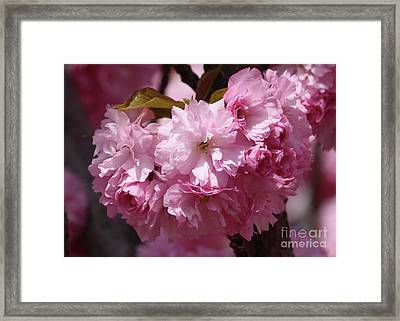 Pink Blossoms Closeup Framed Print