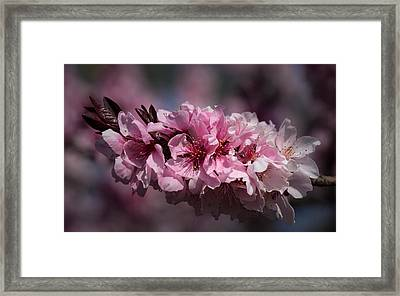 Cherry Blossoms Framed Print by Denise McKay