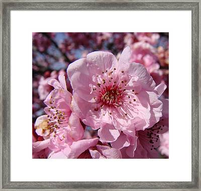 Pink Blossoms Framed Print by Liz Vernand