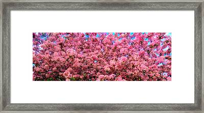 Pink Blossoms Of Spring Framed Print
