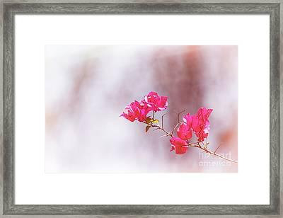 Pink Bougainvillea Flowers In Sunlight Framed Print by Jane Rix