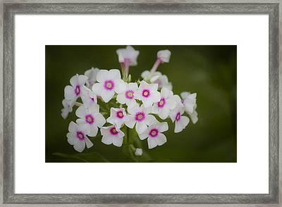 Pink Bright Eyes Garden Phlox Framed Print