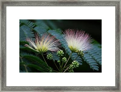 Pink Mimosa  Framed Print by Yvonne Wright