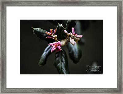 Pink Bud Framed Print